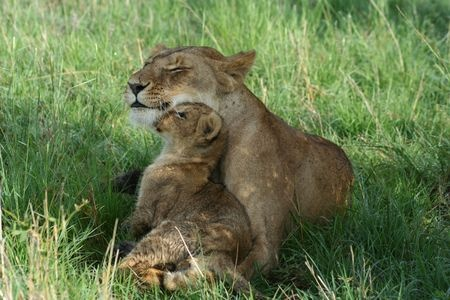 Mum and Baby - Lions Oxytocin